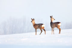 Deers in winter in a sunny day. Deer in winter in a sunny day Stock Image