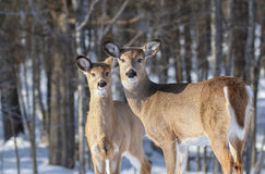 Deers during winter Royalty Free Stock Images