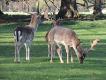 Deers. In the woods and on the meadow Royalty Free Stock Photo