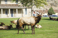 The deers in Yellowstone national park Stock Photos