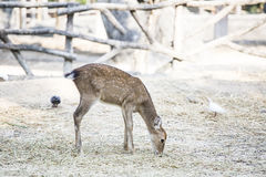 Deers. Young Deers eating with detail Stock Photography