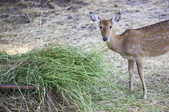 Deers. Young Deers eating with detail Royalty Free Stock Photo