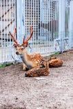 Deers in the zoo Stock Image