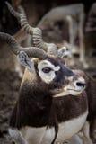 Deers in zoo Stock Photography