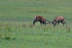 Deersfullvuxen hankronhjort i brunstsäsong på ängstridigheten royaltyfria bilder