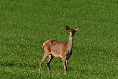 Deerskin grazing the grass walking on the meadow royalty free stock photography