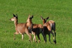 flock of Deerskin grazing the grass walking on the meadow stock image