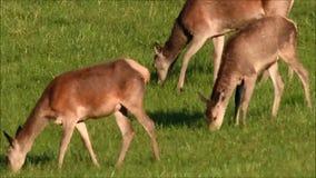 Deerskin pasanie w lesie w bekowisku zdjęcie wideo