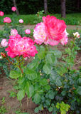 Deesse Rose Stock Image