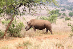Defaced dehorned mother rhino walking off into bush after proces Stock Images