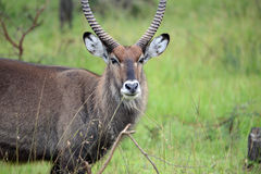 A Defassa Water-buck on the plains of East Africa Royalty Free Stock Photography