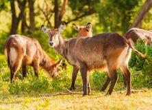 Defassa Waterbuck羚羊在Ngorongoro 免版税库存图片