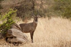 Defassa Waterbuck 7299. Male of Defassa Waterbuck Standing on the grass stock image