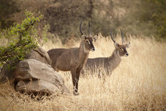 Defassa Waterbuck 7301. Couple Male of Defassa Waterbuck Standing on the grass royalty free stock photos