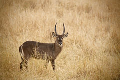Defassa Waterbuck 7306 Stock Photography