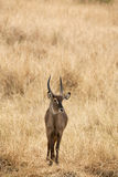 Defassa Waterbuck 7312. Male of Defassa Waterbuck Standing on the grass stock image