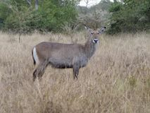 Defassa waterbuck, Kobus ellipsiprymnus defassa. Single female, Uganda, August 2018 stock photos
