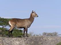 Defassa waterbuck, Kobus ellipsiprymnus defassa. Single female, Uganda, August 2018 stock photography