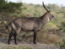 Defassa waterbuck, Kobus ellipsiprymnus defassa. Single male, Uganda, August 2018 Royalty Free Stock Photo
