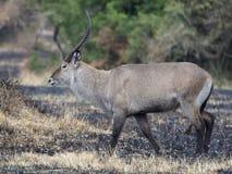 Defassa waterbuck, Kobus ellipsiprymnus defassa. Single male, Uganda, August 2018 Royalty Free Stock Photos