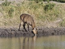 Defassa waterbuck, Kobus ellipsiprymnus defassa. Single female at water, Uganda, August 2018 royalty free stock images