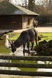 Defassa Waterbuck (Kobus ellipsiprymnus) Royalty Free Stock Photography
