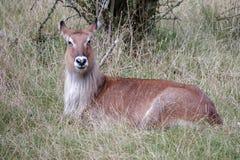 Defassa Waterbuck (Kobus ellipsiprymnus) Royalty Free Stock Image