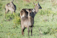 Defassa Waterbuck Kobus ellipsiprymnus Standing with Herd on the Serengeti Stock Photo