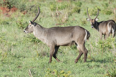 Defassa Waterbuck Kobus ellipsiprymnus Standing on the Serengeti. In Northern Tanzania royalty free stock images