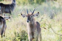 Defassa Waterbuck Kobus ellipsiprymnus Standing on the Serengetii. Defassa Waterbuck Kobus ellipsiprymnus Standing on the Serengeti in Northern Tanzania stock photography
