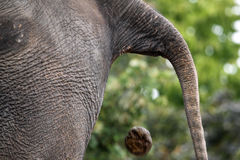 Defecating Elephant Royalty Free Stock Images