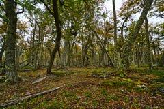 Defekte Bäume und defekte Niederlassungen auf dem Standort von Biberverdammungen in Tierra del Fuego National Park Gelbes Feld, b Lizenzfreies Stockbild