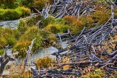 Defekte Bäume und defekte Niederlassungen auf dem Standort von Biberverdammungen in Tierra del Fuego National Park Gelbes Feld, b Stockbild