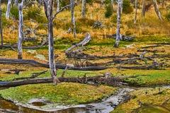 Defekte Bäume und defekte Niederlassungen auf dem Standort von Biberverdammungen in Tierra del Fuego National Park Gelbes Feld, b Lizenzfreies Stockfoto