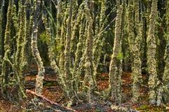 Defekte Bäume und defekte Niederlassungen auf dem Standort von Biberverdammungen in Tierra del Fuego National Park Gelbes Feld, b Stockbilder