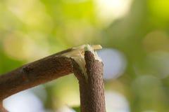 Defekte Niederlassung auf dem Baum in der Natur Lizenzfreies Stockbild
