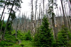 Defekte Stämme von Bäumen in einem Gebirgswald Stockfotografie