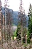 Defekte Stämme von Bäumen in einem Gebirgswald Stockbild
