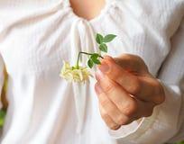 Defekte Weißrose in den Palmen Eine defekte Blume in der Hand Lizenzfreies Stockbild