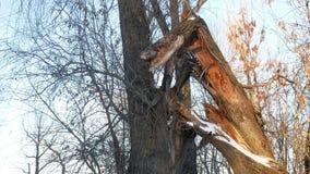 Defekter Baum in den Baum- des Waldesstammwaldwinter-Landschaftstrockenen Niederlassungen Stockfoto