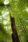 Defekter Baum im Wald Lizenzfreie Stockbilder
