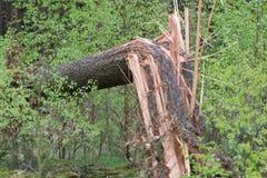 Defekter Baum im Wald, umgeben durch frische junge grüne Bäume Stockfotografie