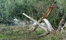 Defekter Baum nach dem Sturm Stockfoto