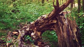 Defekter Baumstamm mitten in einem grünen Wald, hölzerne Beschaffenheit, entwurzelter Baum stock footage