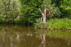 Defekter Baumstamm reflektierte sich in der Wasseroberfläche eines Nebenflusses Lizenzfreies Stockbild