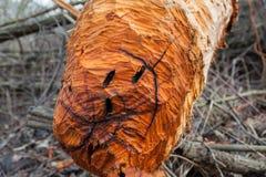Defekter, gefallener Baum des Bibers in der herbstlichen Waldnahaufnahme Lizenzfreie Stockbilder