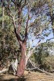 Defekter roter Baum Stockfotografie