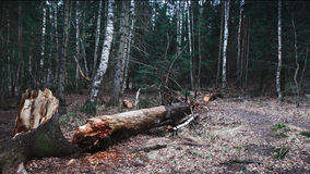 Defekter Stamm nach einem Sturm und Birken Lizenzfreie Stockbilder