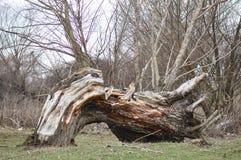 Defektes altes Baum thrunk Lizenzfreie Stockfotos