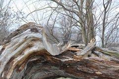 Defektes altes Baum thrunk Lizenzfreie Stockbilder